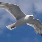 Gullheader